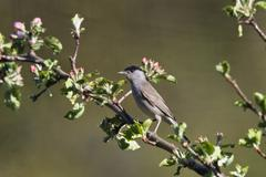 Stock Photo of blackcap (sylvia atricapilla), male in an apple tree, germany, europe