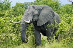 African bush elephant (loxodonta africana) during feeding, near the khwai riv Stock Photos