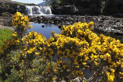 common gorse (ulex europaeus), aasleagh falls, connemara, county mayo, republ - stock photo