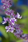 Stock Photo of ararat-basil (ocimum basilicum), violet flowers