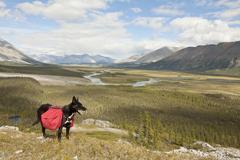 Pack dog, alaskan husky, sled dog, carrying a dog pack, backpack, wind river  Stock Photos