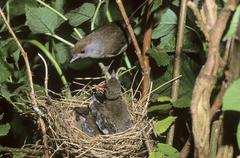 blackcap (sylvia atricapilla), female sitting on the nest with fledglings - stock photo