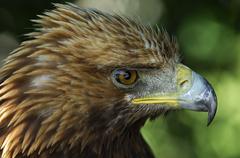 Golden eagle (aquila chrysaetos) with ruffled feathers Stock Photos