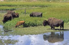 Stock Photo of bisons (bison bison), yellowstone national park, wyoming, usa