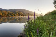 morning mood on the main river near lohr am main, with purple loosestrife on  - stock photo