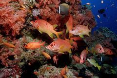 Sabre squirrelfish (sargocentron spiniferum), maldive islands, indian ocean Kuvituskuvat
