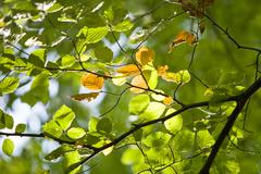 Stock Photo of illuminated beech (fagus) leaves on a branch, wohldorf forest, hamburg, germa