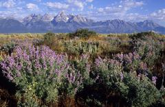 Stock Photo of lupins in front of the grand teton mountains, united states