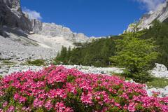 Rhododendrons, garland rhododendron, hairy alpine-rose, alpen rose, alpine ro Stock Photos