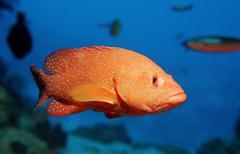 Vermillion seabass or coral hind (cephalopholis miniata), maldive islands, in Kuvituskuvat
