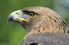 portrait, golden eagle (aquila chrysaetos) - stock photo
