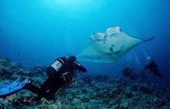 Manta ray (manta birostris) and a scuba diver, maldive islands, indian ocean Kuvituskuvat