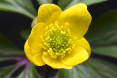 yellow woodland anemone, yellow wood anemone, buttercup anemone, yellow woodl - stock photo