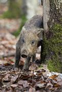 wild boar (sus scrofa), piglet scratching itself on a tree - stock photo