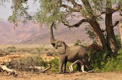 African bush elephant or savanna elephant (loxodonta africana) standing in th Stock Photos