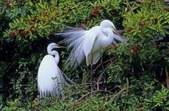 Great egret (casmerodius albus) Stock Photos