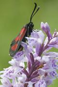 slender scotch burnet moth (zygaena loti or lictoria lotis), seiser alm, dolo - stock photo