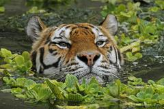 Siberian tiger (panthera tigris altaica), swimming, in the zoo of antwerp, be Stock Photos