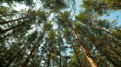 Pine forest view from bottom Stock Footage