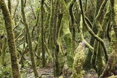Stock Photo of mossy tree trunks, laurel forest, garajonay national park, unesco world herit