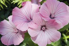 Annual mallow, rose mallow, royal mallow, regal mallow (lavatera trimestris), Stock Photos