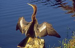 Snakebird, darter, american darter, or water turkey (anhinga anhinga) Stock Photos