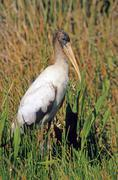 Wood stork (mycteria americana) Stock Photos