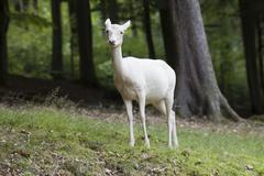Fallow deer (dama dama), female, albino, daun deer park, eifel, rhineland-pal Stock Photos