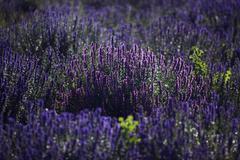 Lavender (lavandula angustifolia), plateau de valensole, département alpes-d Stock Photos