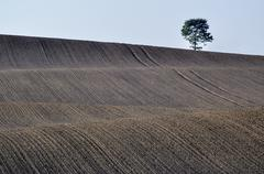 Solitary oak (quercus robur), in cleared agricultural landscape, rendsburg-ec Stock Photos