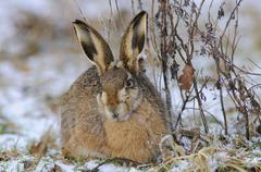 Hare (lepus europaeus) Stock Photos