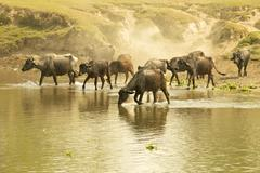 Water buffalos fording a river in front of a dusty embankment, chitwan nation Stock Photos