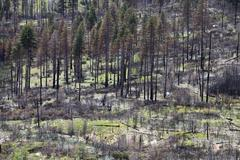 Remains of the forest fire on the outskirts of yosemite national park, califo Kuvituskuvat
