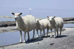 sheep on the fortified beach on the hamburger hallig holm, north friesland, s - stock photo