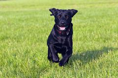Running young black labrador retriever dog (canis lupus familiaris), male, do Kuvituskuvat