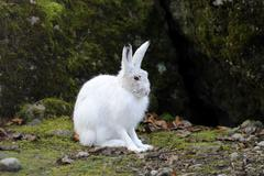 Alpine hare (lepus timidus varronis) in its winter pelage Stock Photos