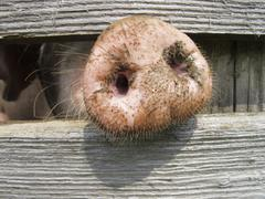 Domestic pig (sus scrofa domestica) sticking its nose through a wooden fence Kuvituskuvat