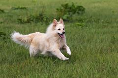 Small white dog, spitz half-breed (canis lupus familiaris), running in a mead Kuvituskuvat