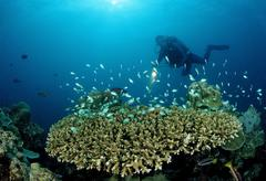 Diver and table coral with green chromis (chromis viridis), indian ocean, mal Stock Photos