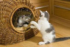 Kittens playing in cat basket Kuvituskuvat