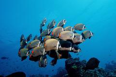 School of redtail butterflyfish (chaetodon collare), maldive islands, indian  Kuvituskuvat