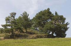 Pine grove (pinus sylvestris) on the seiser alm mountain pasture, dolomites,  Stock Photos