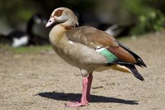 Stock Photo of egyptian goose (alopochen aegyptiacus)