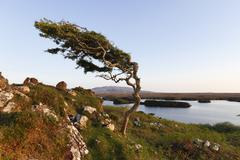 Wind-formed tree, emlaghmore, connemara, county galway, republic of ireland,  Stock Photos