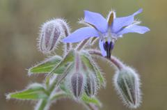 Stock Photo of borage (borago officinalis)