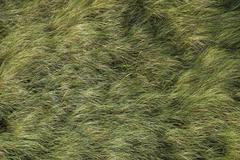 European marram grass, beachgrass (ammophila arenaria) in the wind, north sea Stock Photos