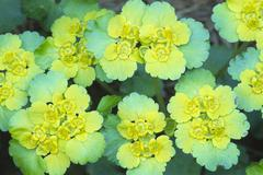 Alternate-leaved golden saxifrage (chrysosplenium alternifolium), karwendel m Stock Photos