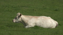 cow lying down chewing the cud, wales - stock footage