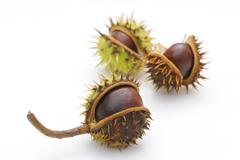horse-chestnut (aesculus hippocastanum) - stock photo