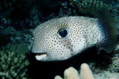spot-fin porcupinefish or porcupine puffer (diodon hystrix), maldives island, - stock photo